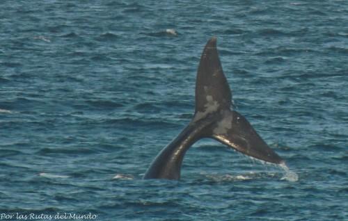 cola de ballena puerto madryn